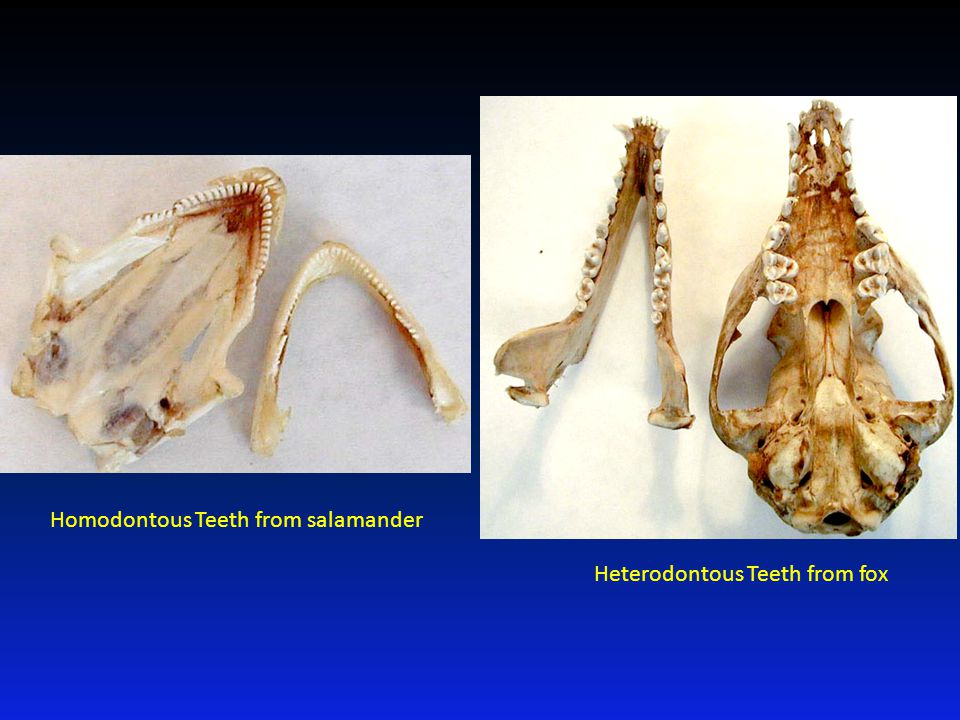 Homodontous Teeth from salamander