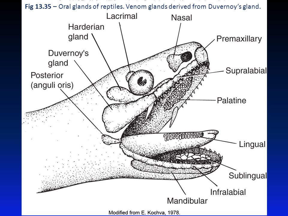 Fig 13. 35 – Oral glands of reptiles