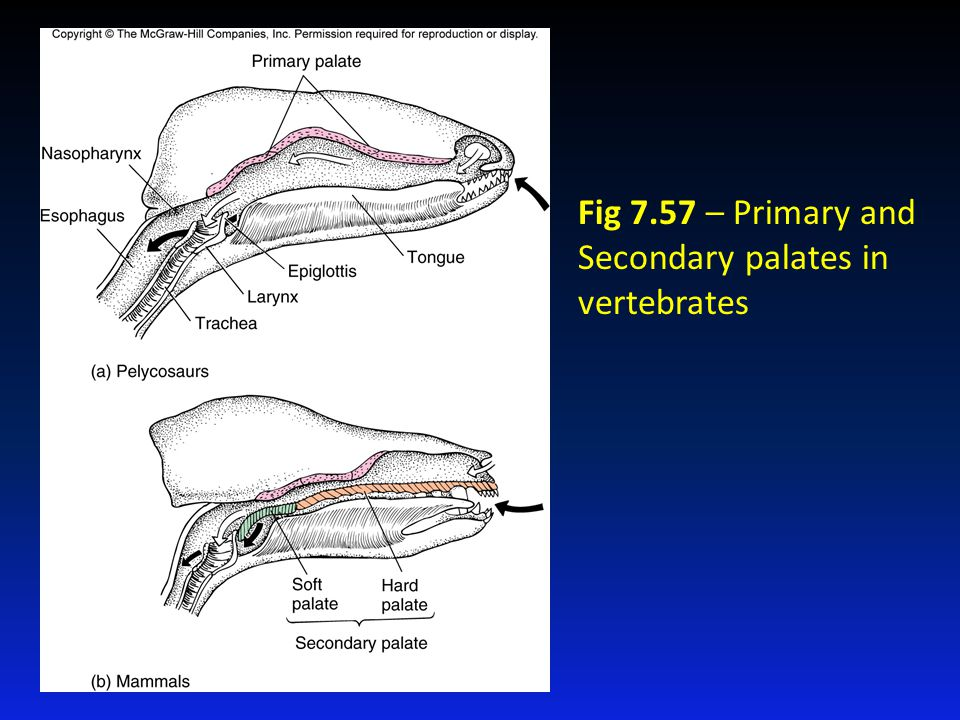 Fig 7.57 – Primary and Secondary palates in vertebrates