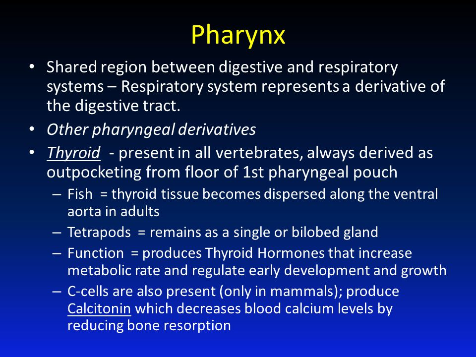 Pharynx Shared region between digestive and respiratory systems – Respiratory system represents a derivative of the digestive tract.