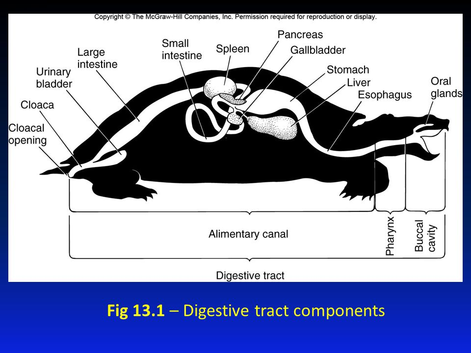 Fig 13.1 – Digestive tract components