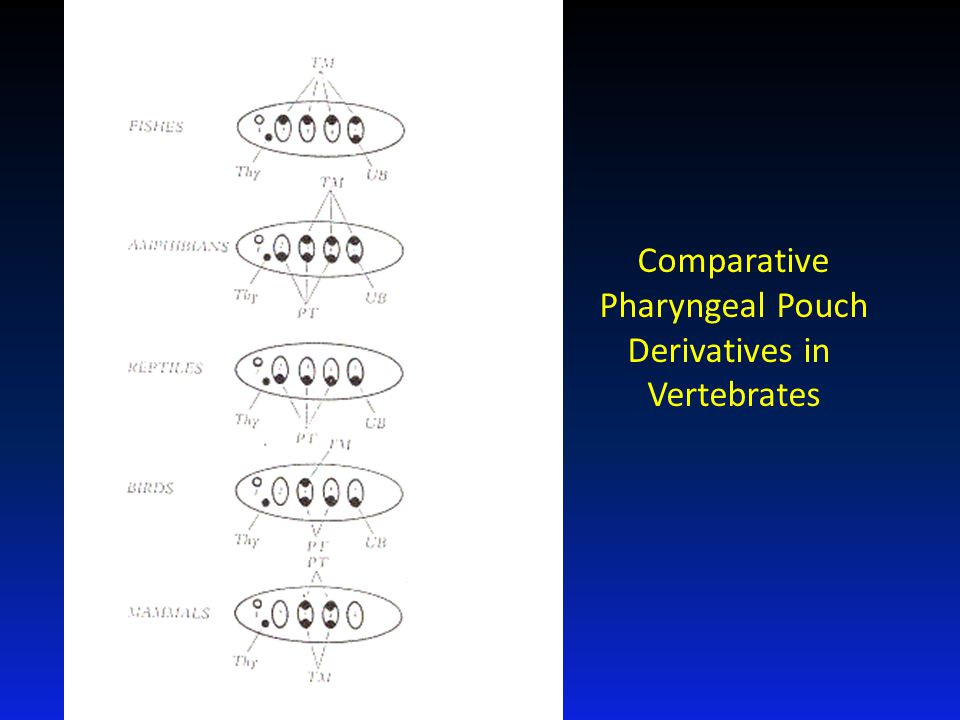 Comparative Pharyngeal Pouch Derivatives in Vertebrates