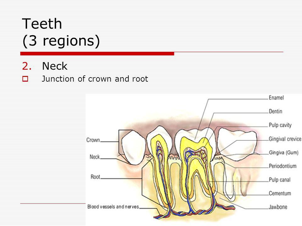 Teeth (3 regions) Neck Junction of crown and root