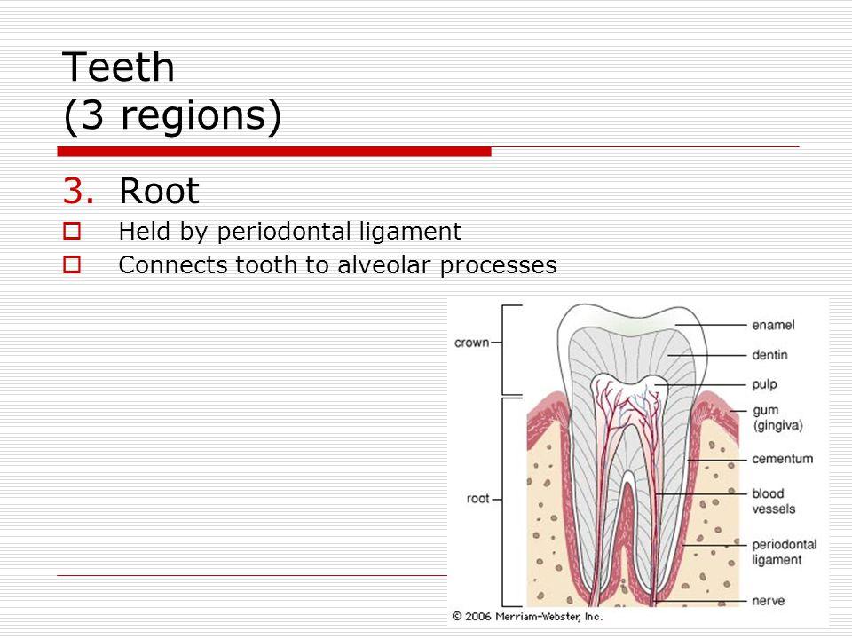Teeth (3 regions) Root Held by periodontal ligament