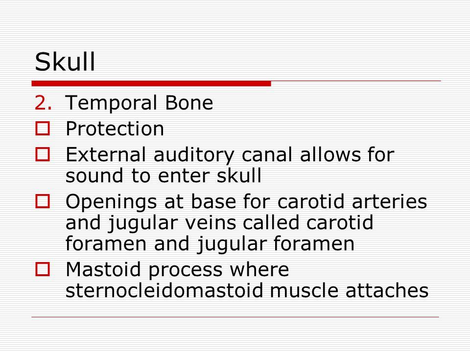 Skull Temporal Bone Protection