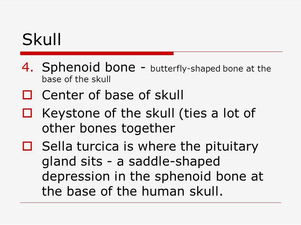 Skull Sphenoid bone - butterfly-shaped bone at the base of the skull