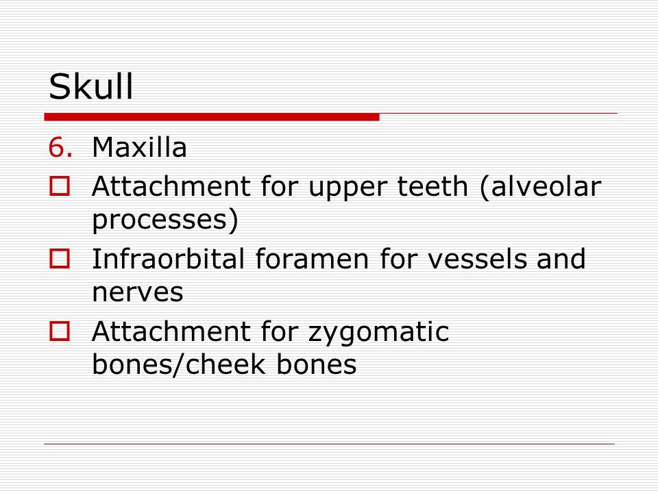 Skull Maxilla Attachment for upper teeth (alveolar processes)