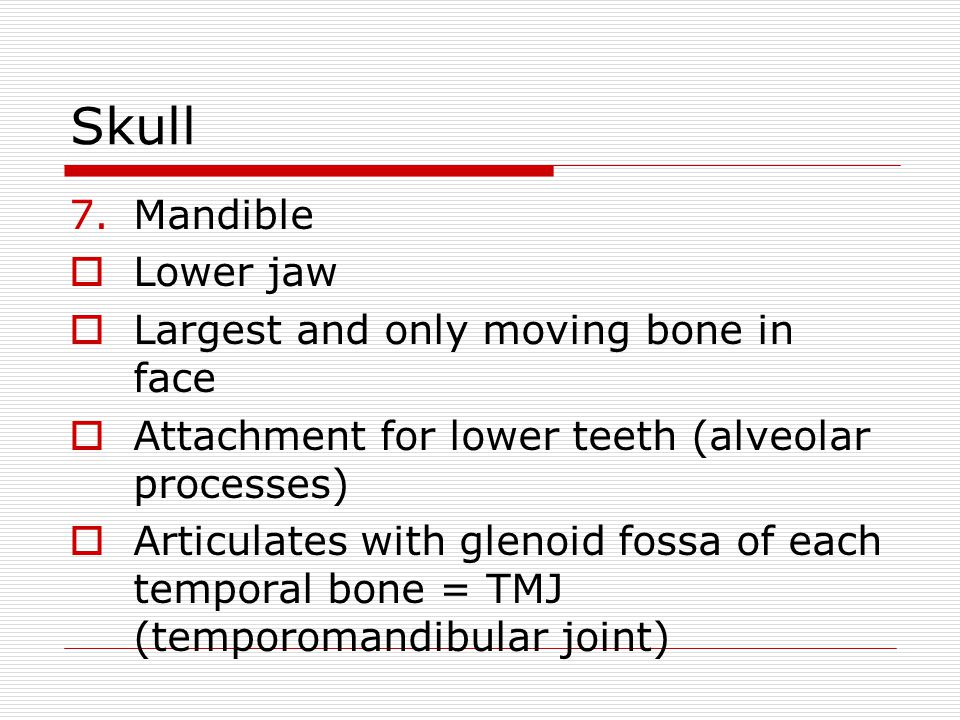 Skull Mandible Lower jaw Largest and only moving bone in face