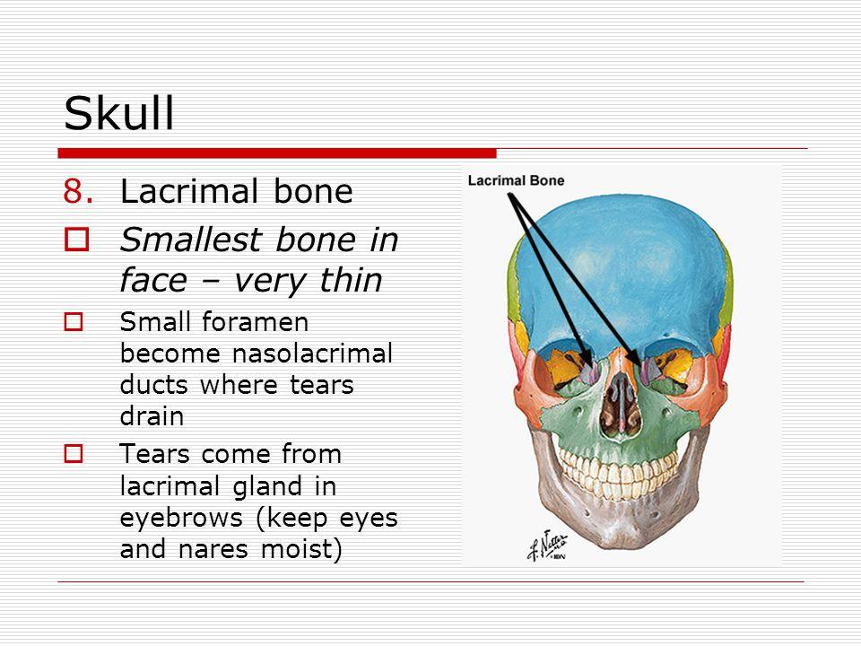 Skull Lacrimal bone Smallest bone in face – very thin
