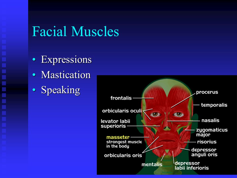 Facial Muscles Expressions Mastication Speaking