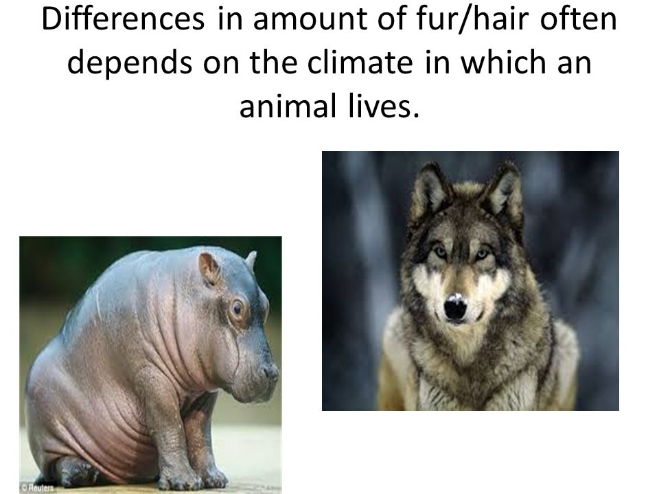Differences in amount of fur/hair often depends on the climate in which an animal lives.