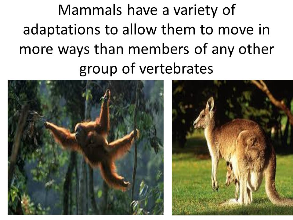 Mammals have a variety of adaptations to allow them to move in more ways than members of any other group of vertebrates