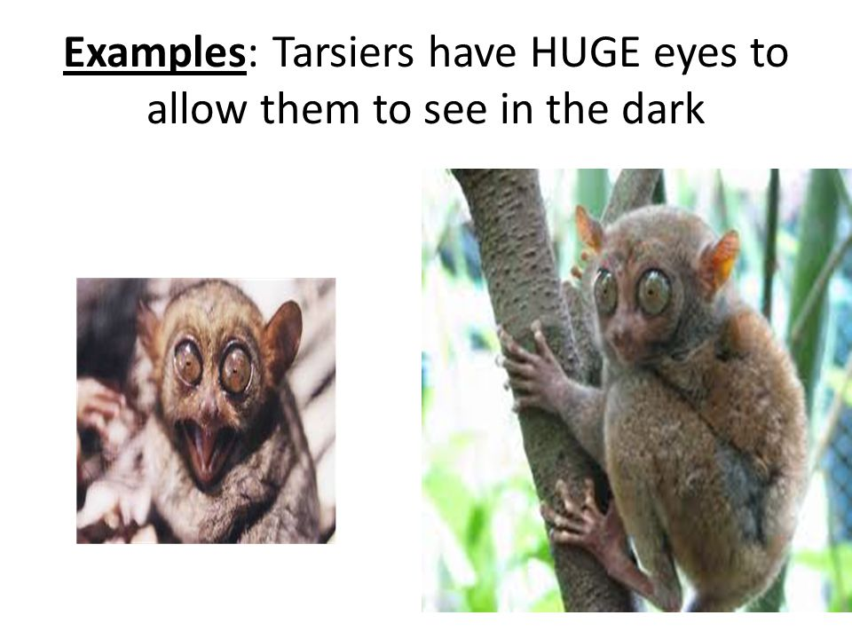 Examples: Tarsiers have HUGE eyes to allow them to see in the dark