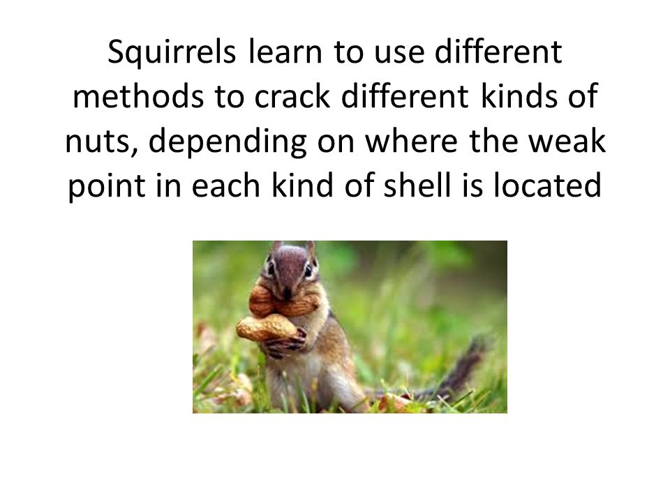 Squirrels learn to use different methods to crack different kinds of nuts, depending on where the weak point in each kind of shell is located