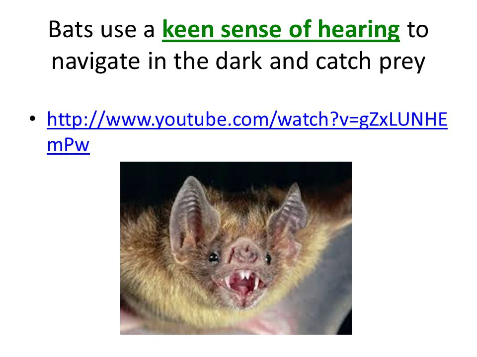Bats use a keen sense of hearing to navigate in the dark and catch prey