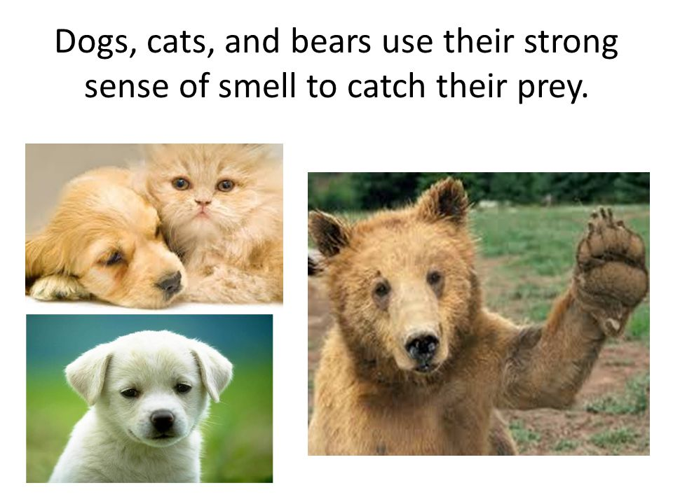 Dogs, cats, and bears use their strong sense of smell to catch their prey.