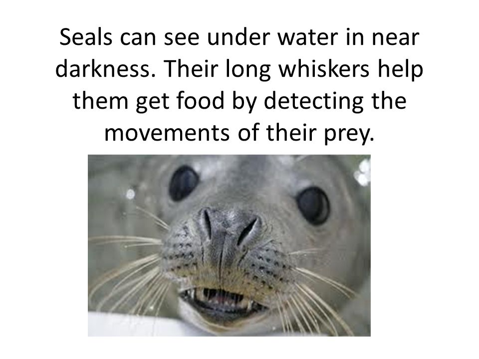 Seals can see under water in near darkness
