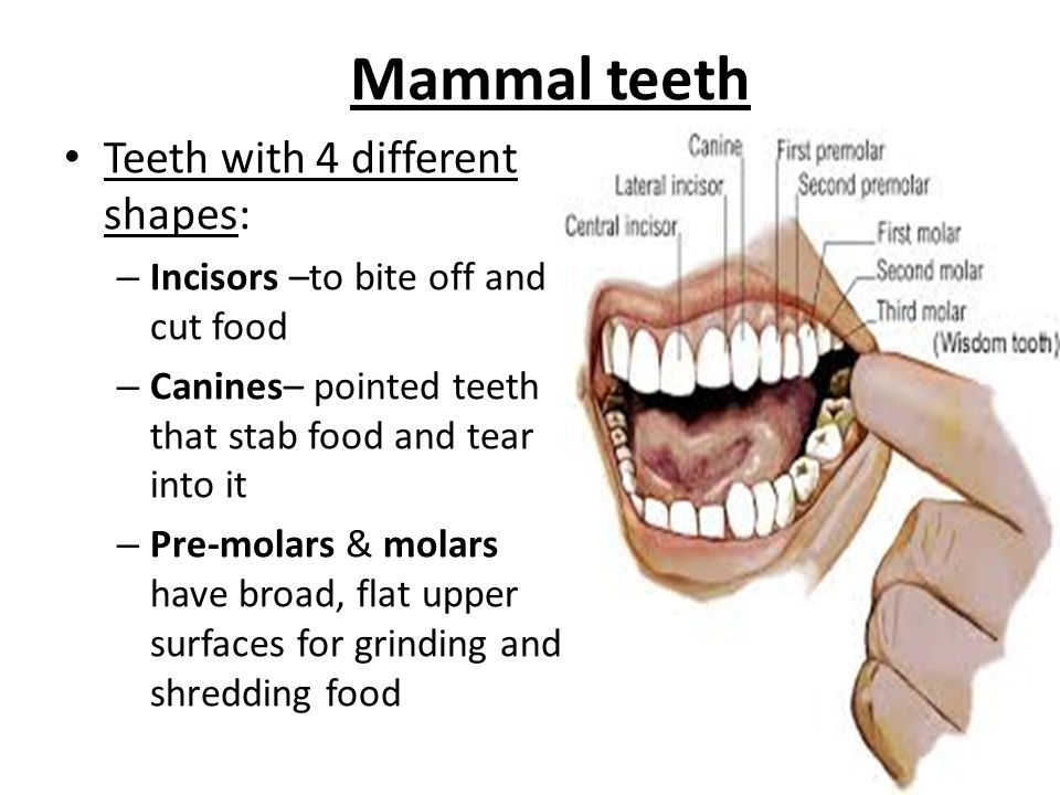 Mammal teeth Teeth with 4 different shapes: