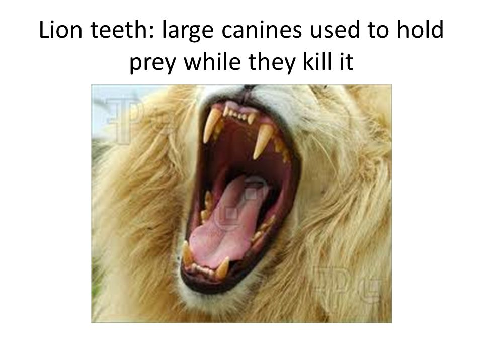 Lion teeth: large canines used to hold prey while they kill it