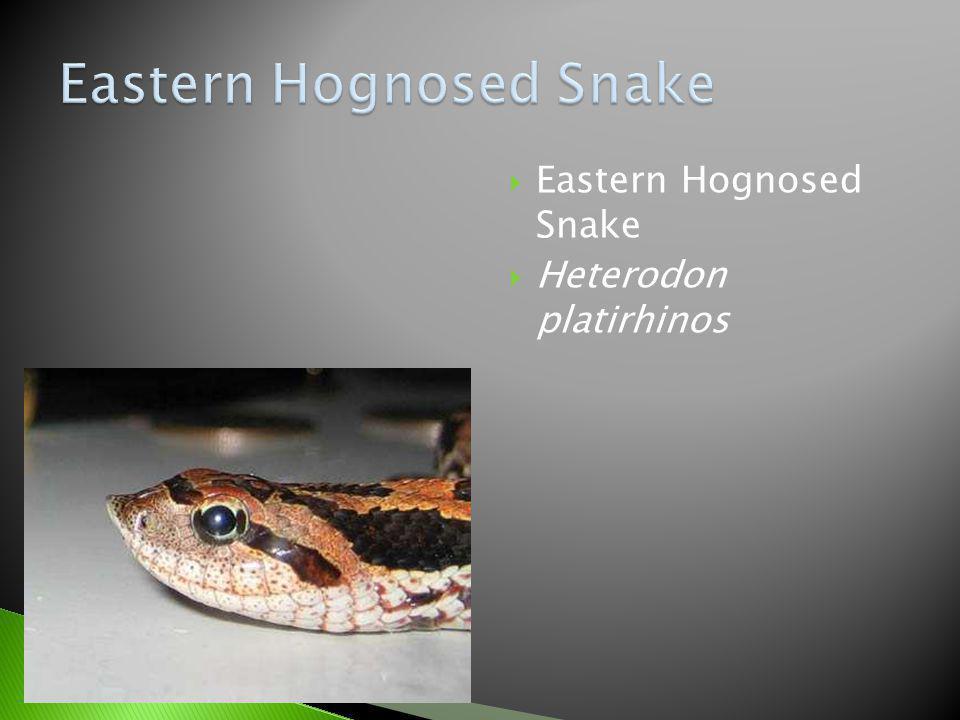 Eastern Hognosed Snake