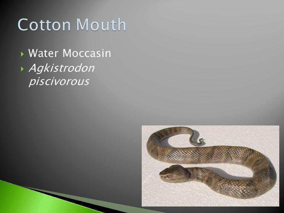Cotton Mouth Water Moccasin Agkistrodon piscivorous