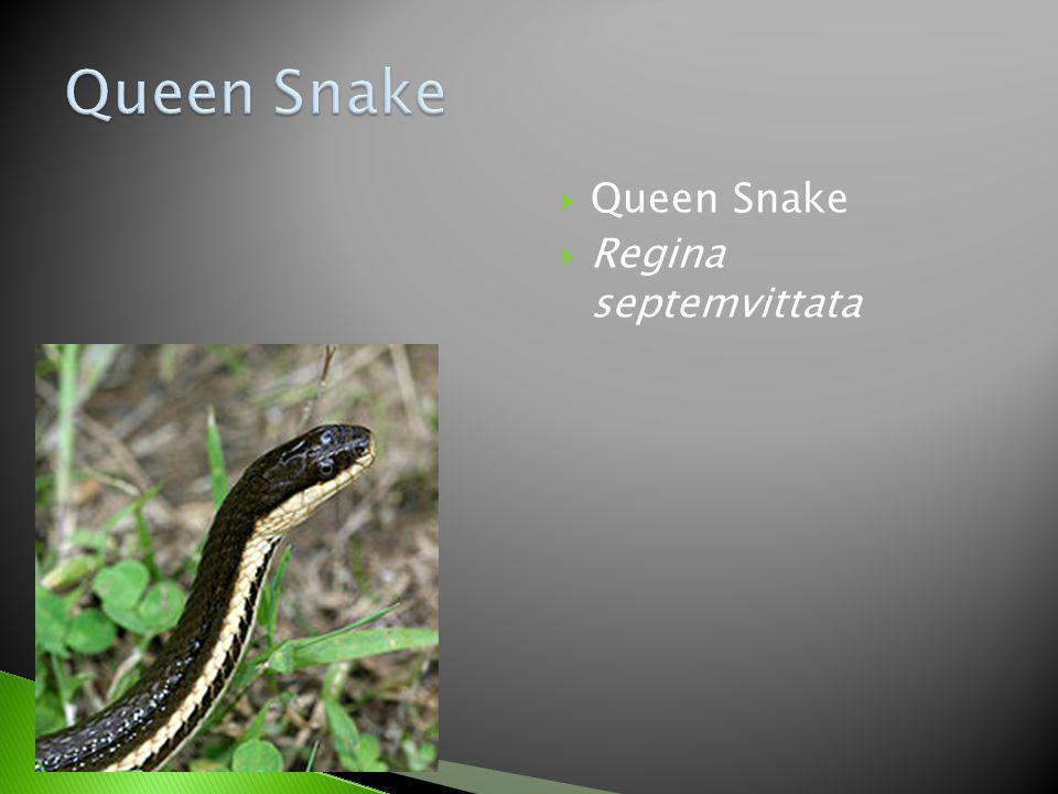 Queen Snake Queen Snake Regina septemvittata