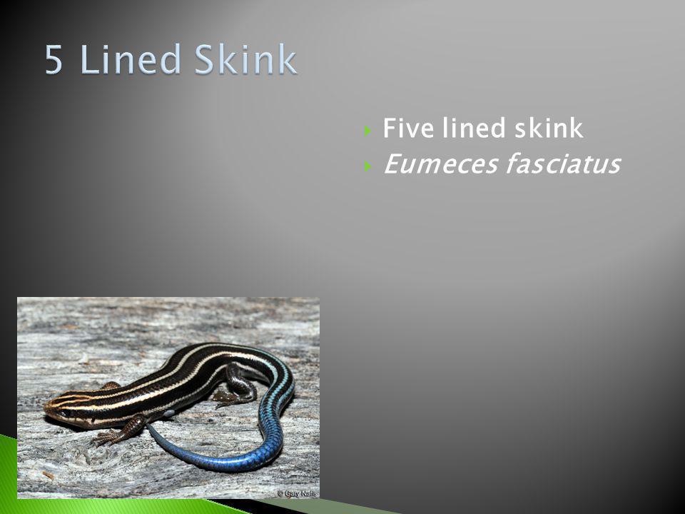 5 Lined Skink Five lined skink Eumeces fasciatus