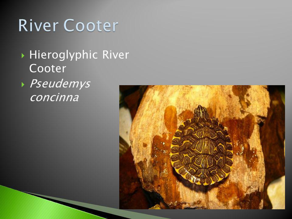 River Cooter Hieroglyphic River Cooter Pseudemys concinna