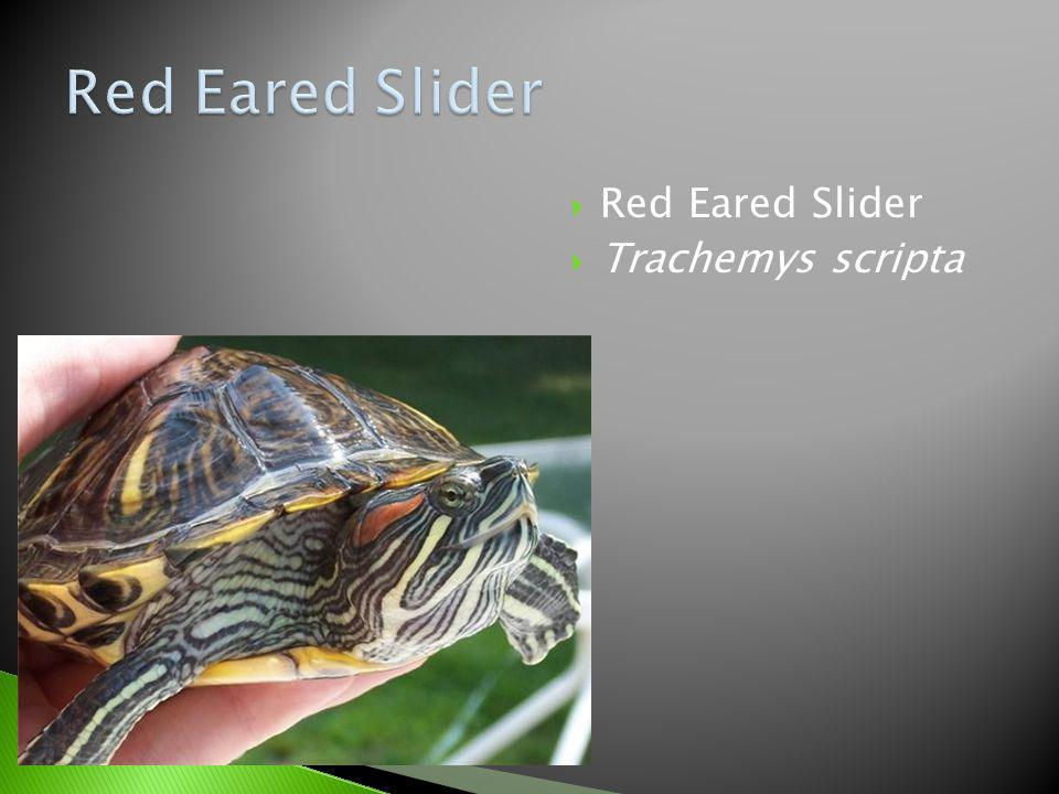 Red Eared Slider Red Eared Slider Trachemys scripta