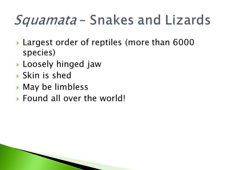 Squamata – Snakes and Lizards