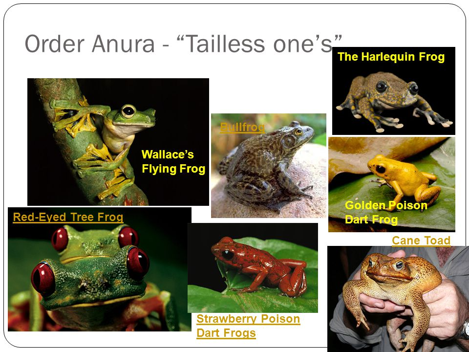 Order Anura - Tailless one's