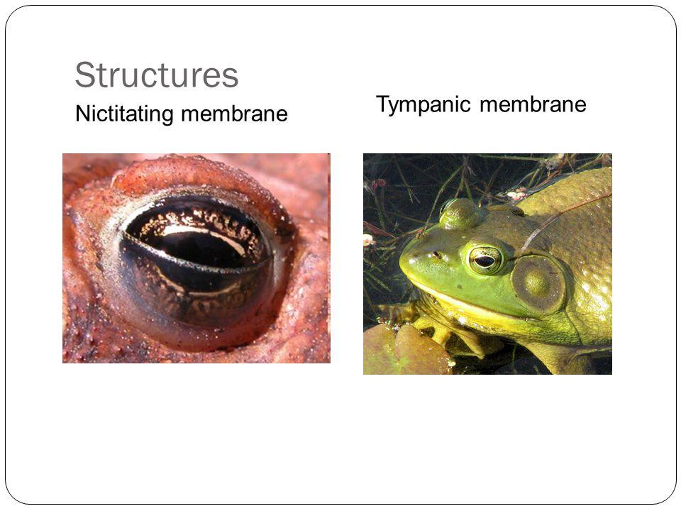 Structures Nictitating membrane Tympanic membrane