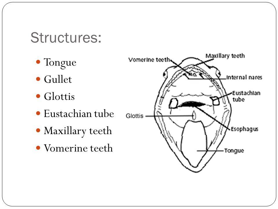 Structures: Tongue Gullet Glottis Eustachian tube Maxillary teeth