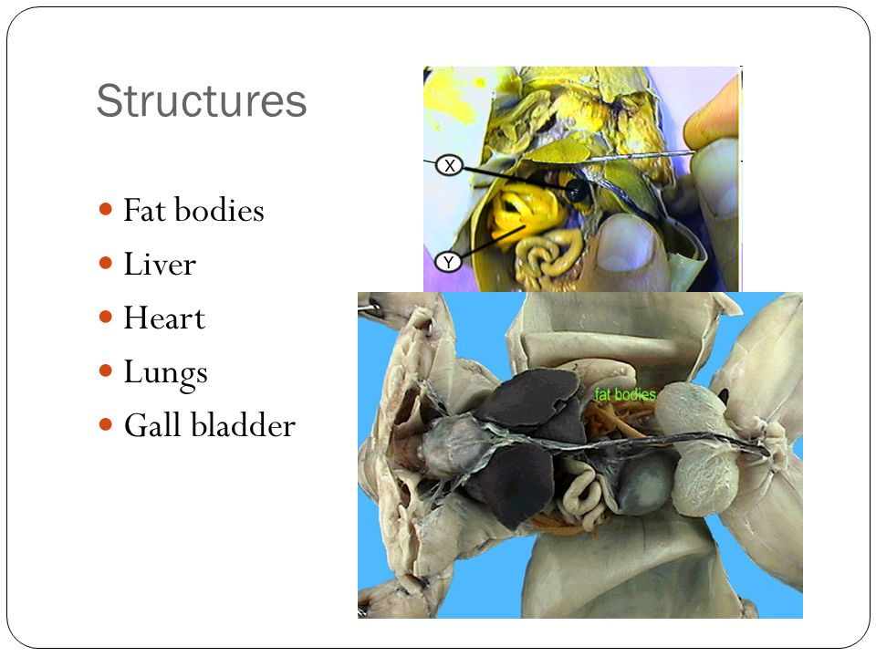 Structures Fat bodies Liver Heart Lungs Gall bladder