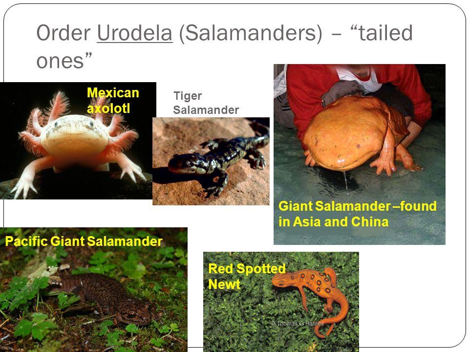 Order Urodela (Salamanders) – tailed ones