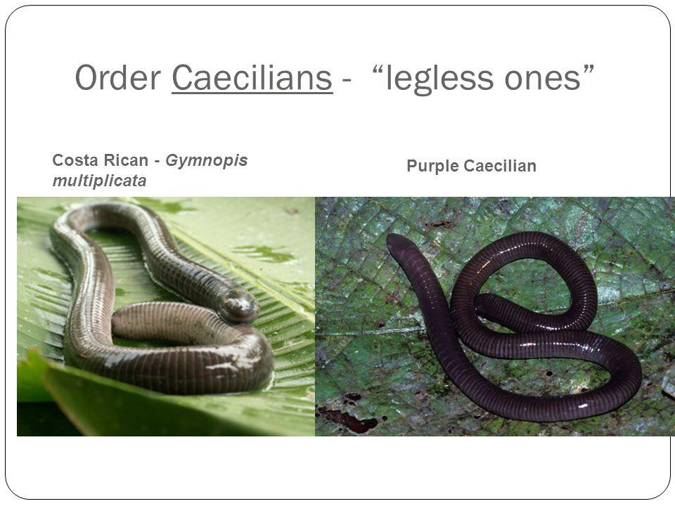 Order Caecilians - legless ones