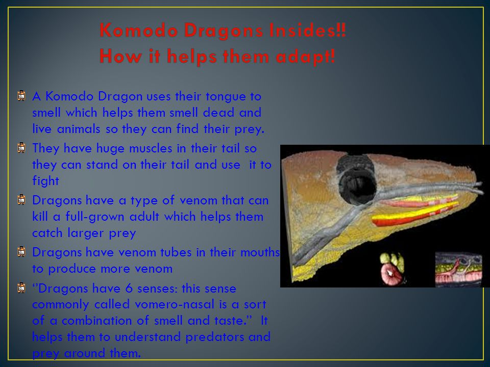 Komodo Dragons Insides!! How it helps them adapt!