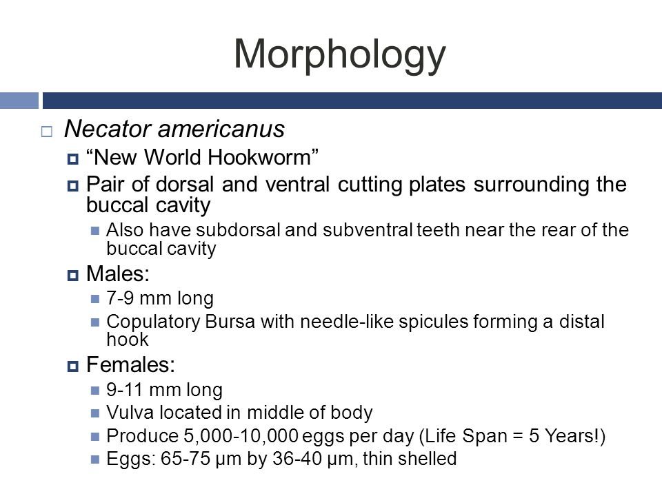 Morphology Necator americanus New World Hookworm
