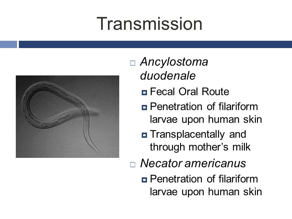 Transmission Ancylostoma duodenale Necator americanus Fecal Oral Route