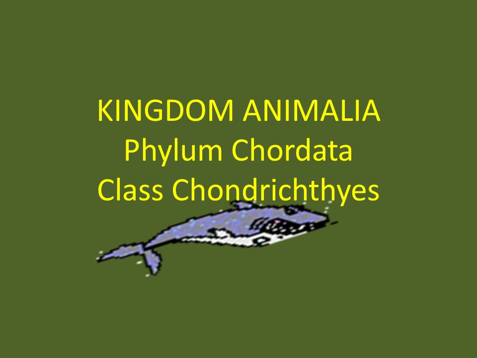 KINGDOM ANIMALIA Phylum Chordata Class Chondrichthyes