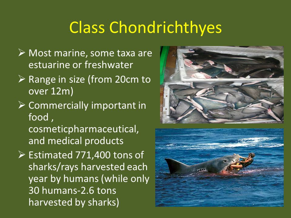 Class Chondrichthyes Most marine, some taxa are estuarine or freshwater. Range in size (from 20cm to over 12m)