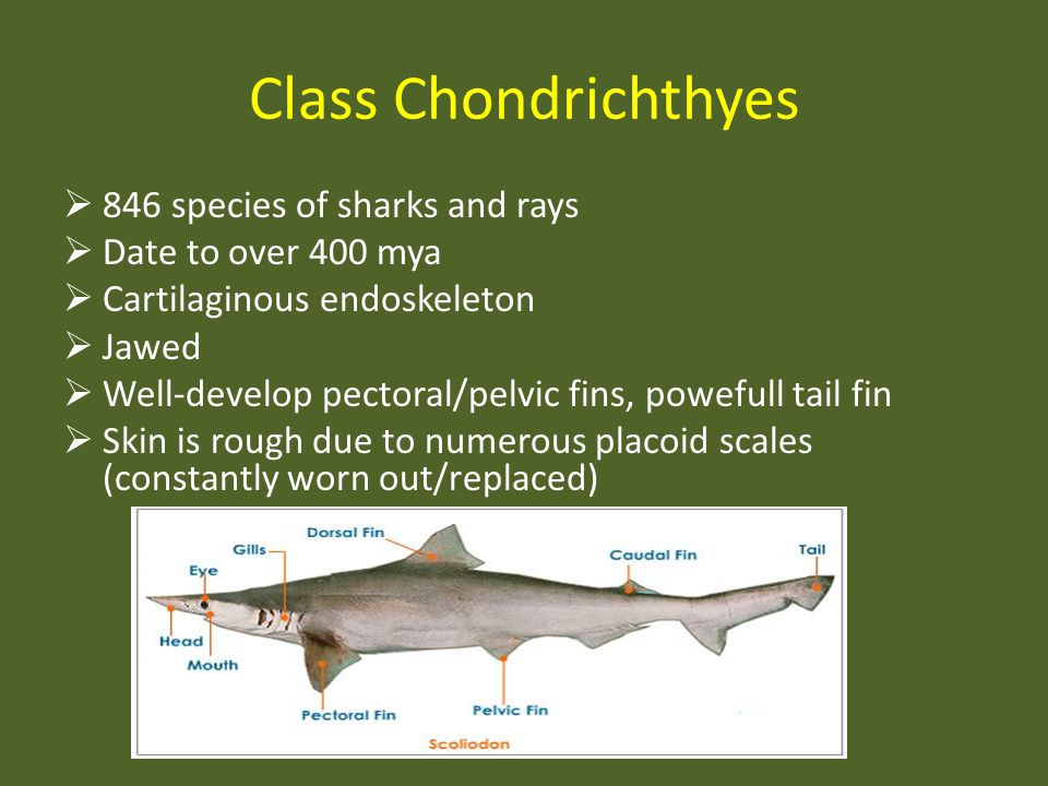 Class Chondrichthyes 846 species of sharks and rays