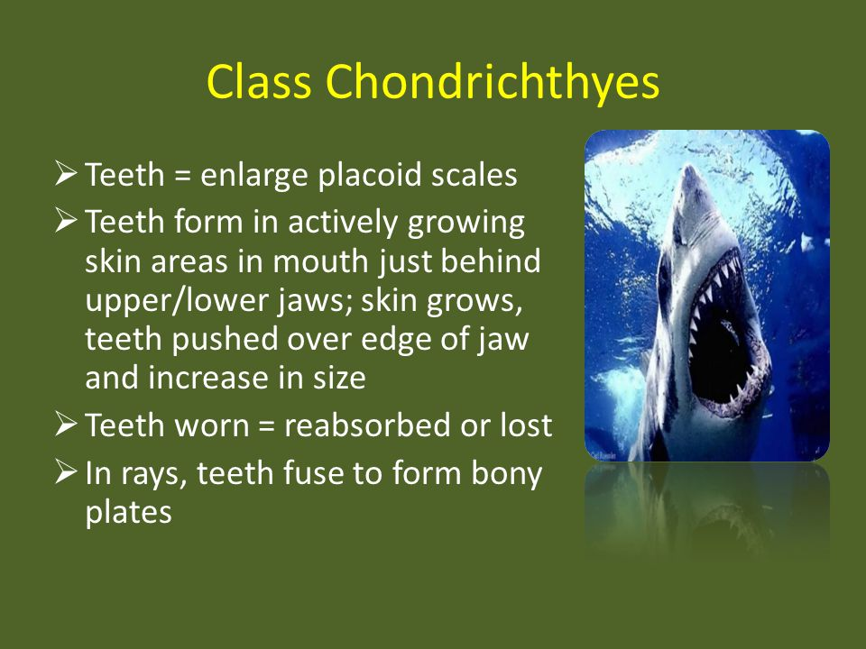 Class Chondrichthyes Teeth = enlarge placoid scales