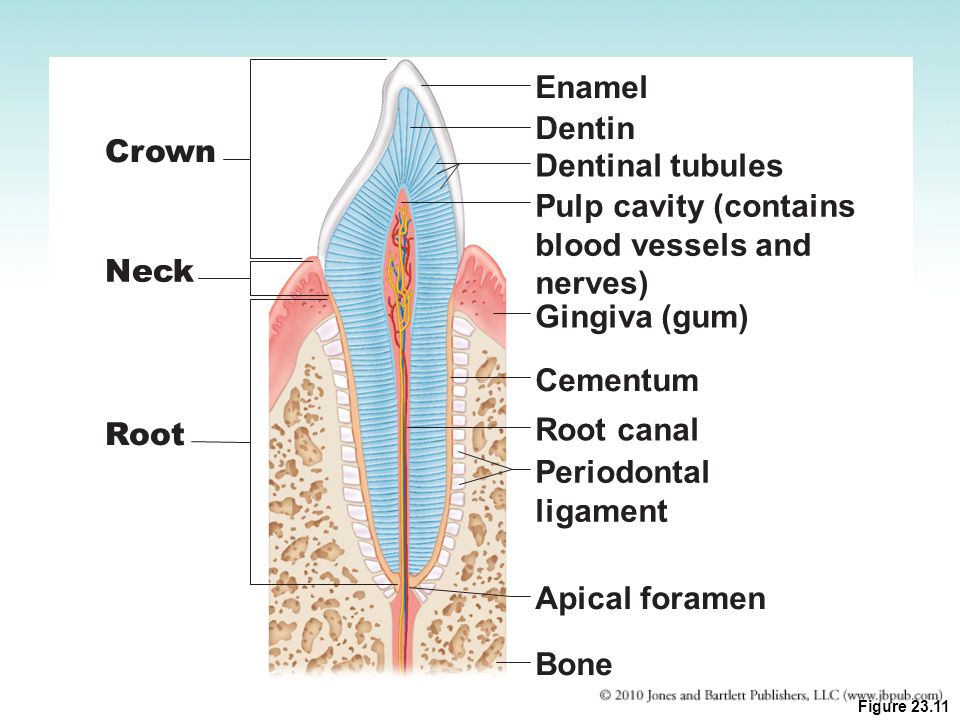Enamel Dentin Crown Dentinal tubules Pulp cavity (contains