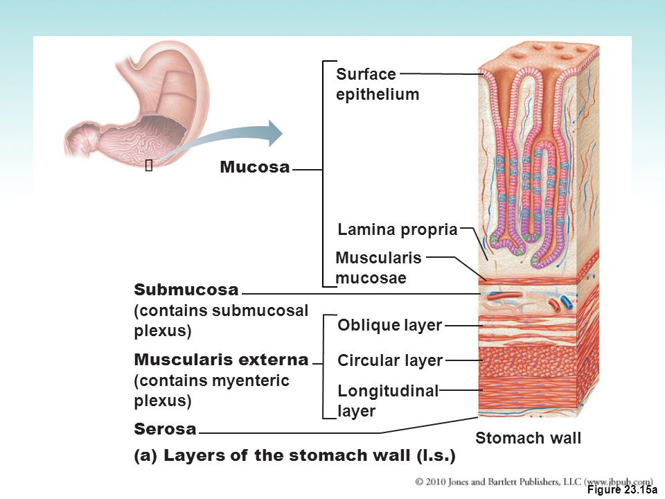 (a) Layers of the stomach wall (l.s.)