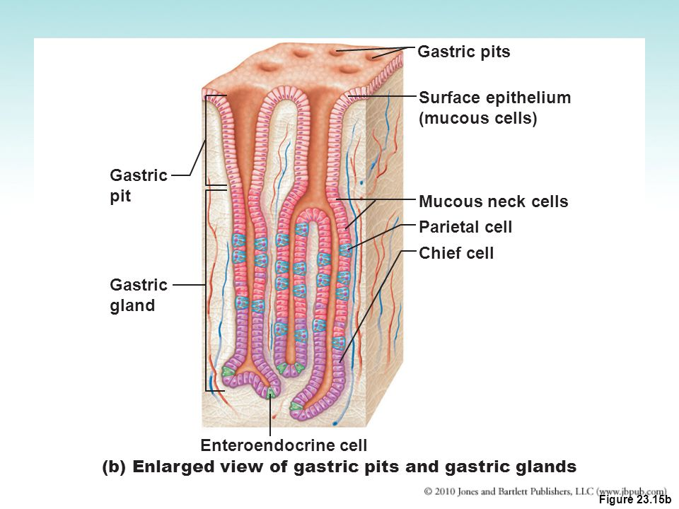 (b) Enlarged view of gastric pits and gastric glands