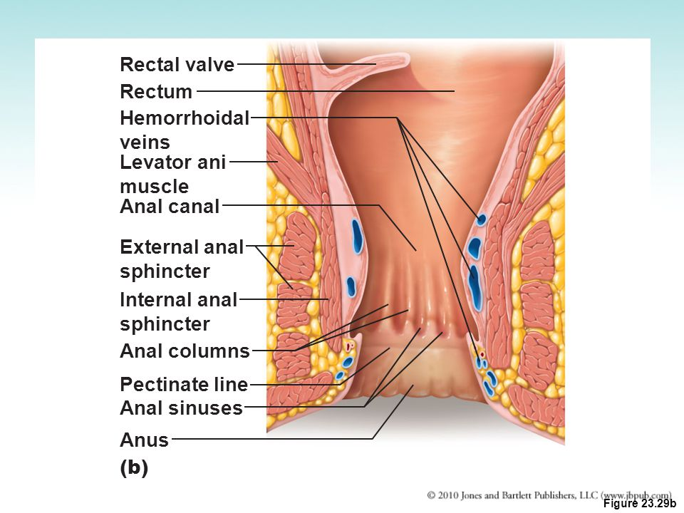 Rectal valve Rectum Hemorrhoidal veins Levator ani muscle Anal canal