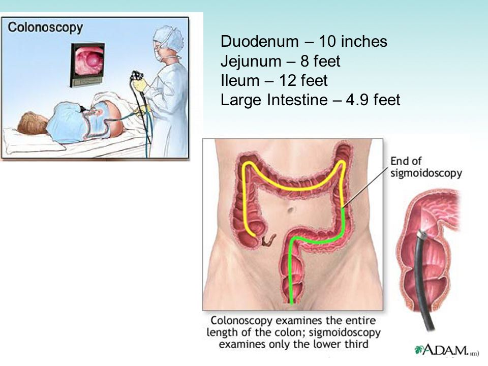 Duodenum – 10 inches Jejunum – 8 feet Ileum – 12 feet Large Intestine – 4.9 feet