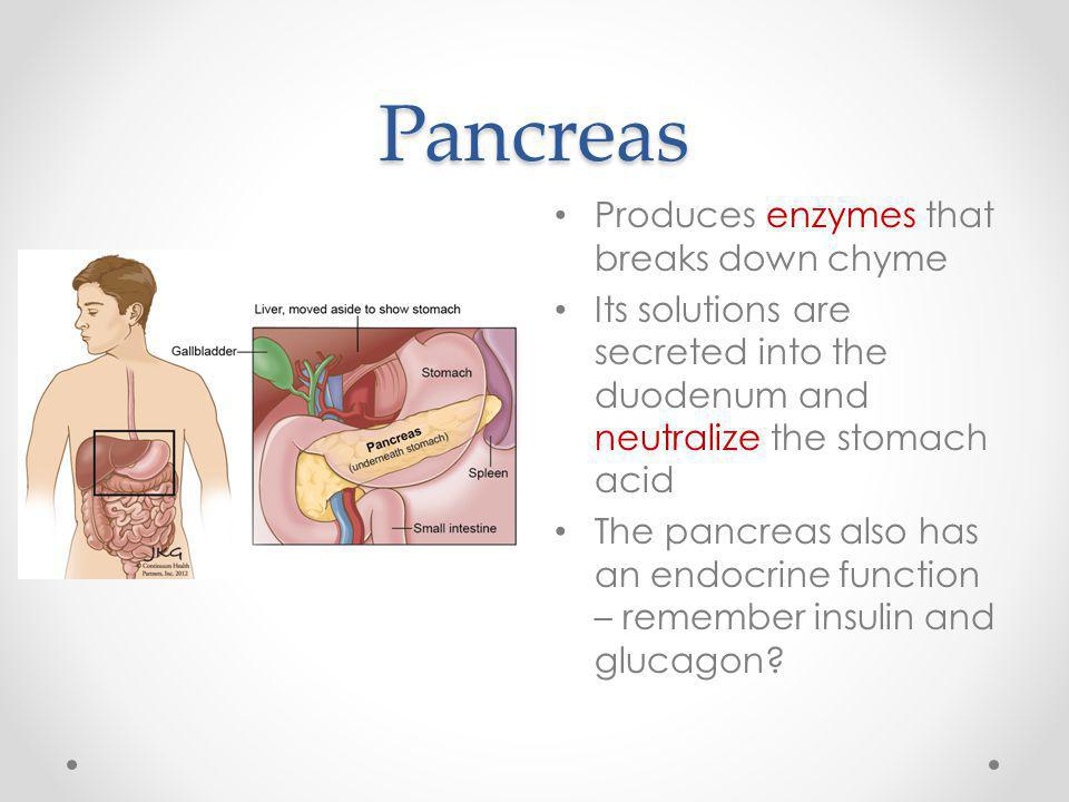 Pancreas Produces enzymes that breaks down chyme