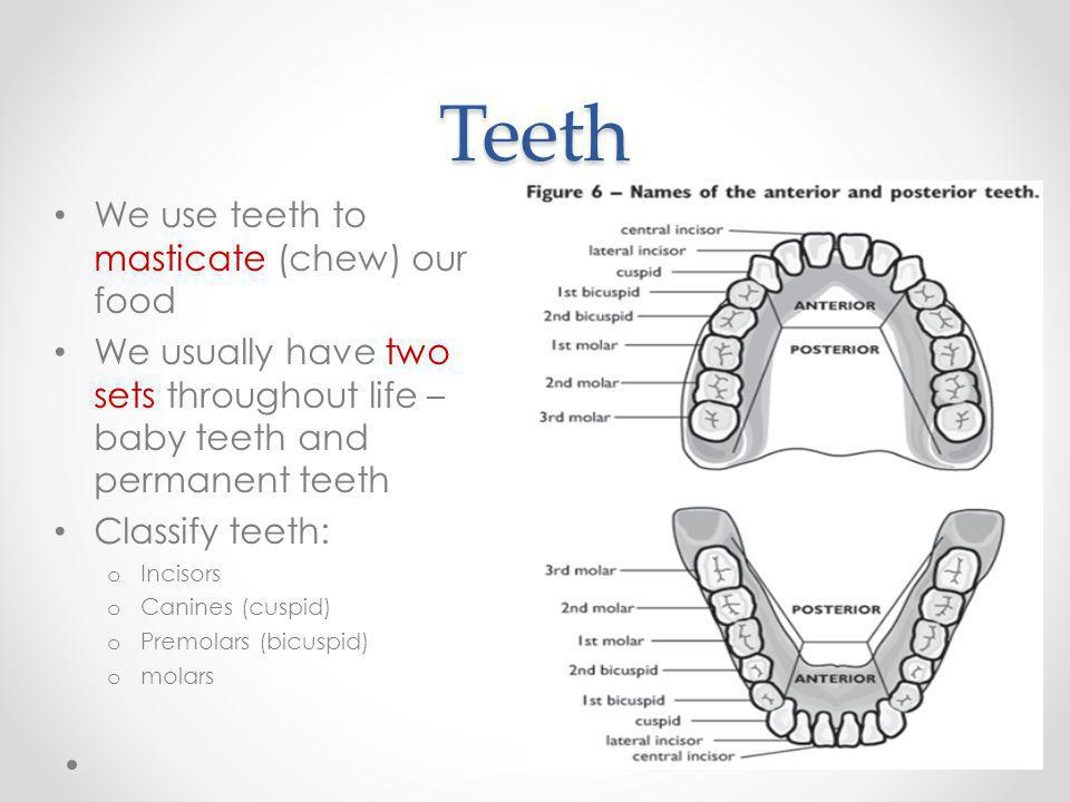 Teeth We use teeth to masticate (chew) our food